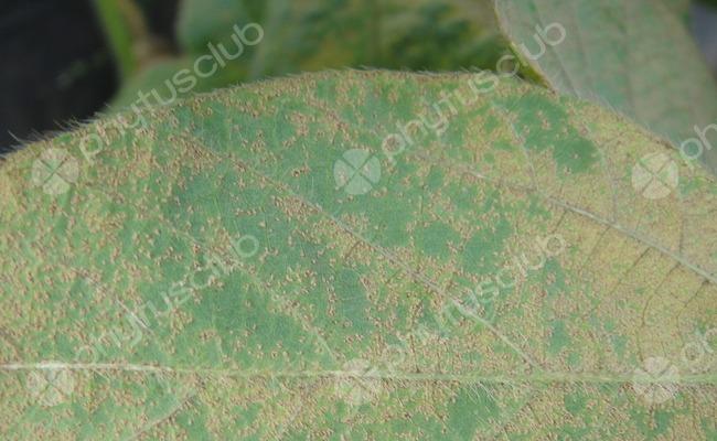 Ferrugem asiática (Phakopsora pachyrhizi)