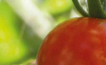 A cultura do tomate