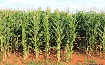 A importância de conhecer o híbrido para posicionar fungicidas em milho