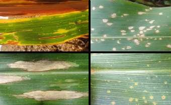 Ação Ampla: Manejo de doenças do milho com associação de fungicidas de amplo espectro