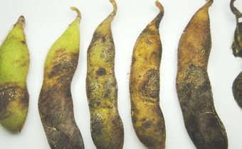 Antracnose (<i>Colletotrichum truncatum</i>) no legume da soja