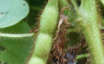 Antracnose na soja e os danos no enchimento de grãos