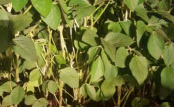 Aplicação noturna de fungicidas e movimentos foliares