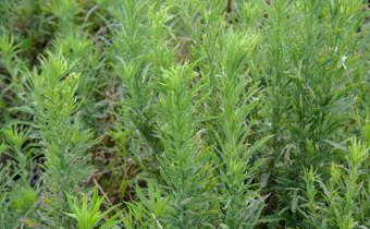 Plantas adultas de buva (Conyza spp.) em estádio de difícil controle com o uso de ...