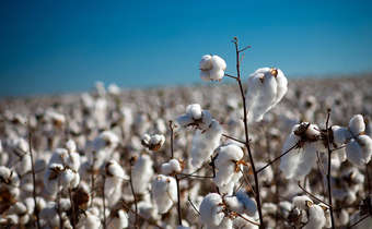 Aspectos do manejo que afetam a qualidade de fibra do algodoeiro