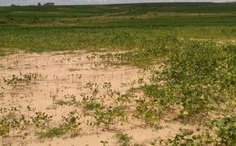 Ataque de fitonematoides pode abrir portas para fungos de solo