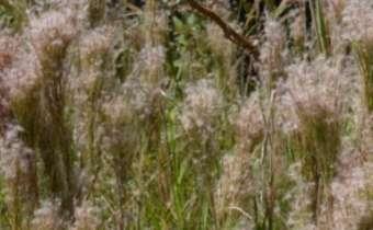 Atenção ao manejo do capim rabo-de-burro