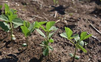 Atraso na emergência de plantas e os riscos com fitopatógenos