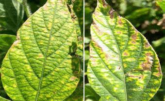 Aumento do risco de fitotoxidade em áreas com nematoides