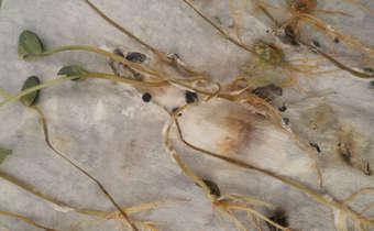 Baixa qualidade fitossanitária de sementes oferecerisco ao produtor