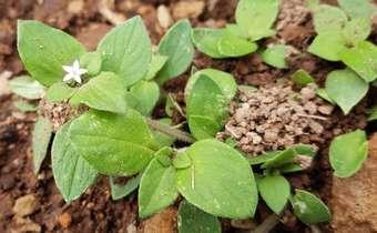 Baixo volume de calda de aplicação afeta controle de poaia-branca (<em>Richardia brasiliensis</em>)