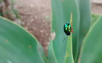 Besouro-verde (<em>Iphimeis dives</em>)