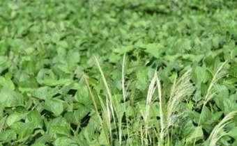 Capim amargoso (<em>Digitaria insularis</em>) em lavoura de soja