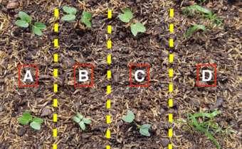 Caracteres morfológicos para a distinção entre plantas daninhas do gênero<em> Ipomoea</em> (Corda-de-viola, corriola) durante o ...