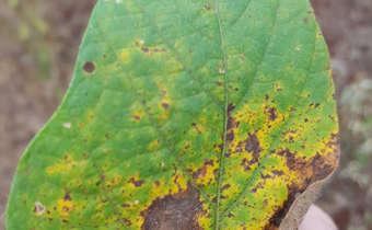 Folhas amarelando:sadias ou com doenças?