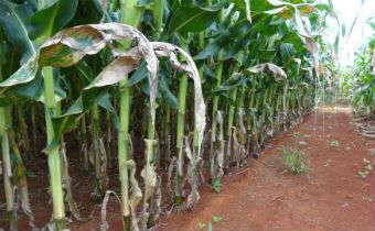 Cercosporiose em milho