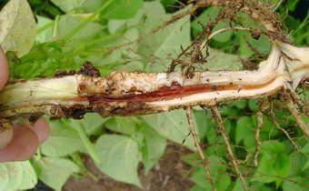 Ciclo e manejo de <em>Fusarium </em>spp. em feijoeiro