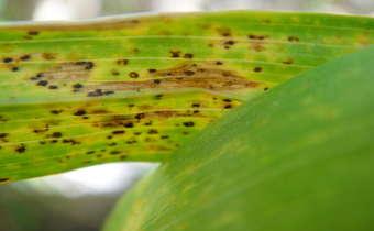Como definir as aplicações de fungicidas em trigo?