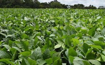 Controle de doenças em soja tardia: iniciar no vegetativo?