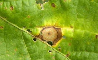 Controle de manchas foliares em soja inox