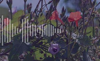 Corda de viola (<em>Ipomoea</em> spp.)