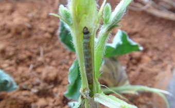 Danos causados pela lagarta <em>Elasmopalpus lignosellus</em>