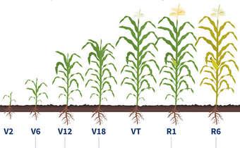 Definição dos componentes de rendimento do milho