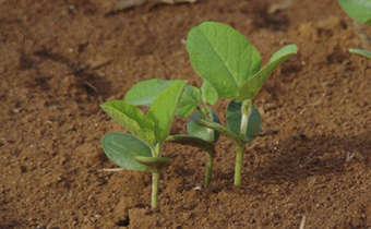 Desafios ao manejo da adubação de semeadura e de pós-emergência da soja