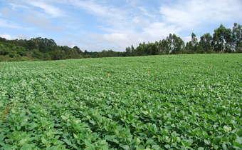 Desafios fitossanitários para o cultivo de soja safrinha