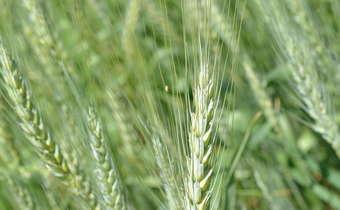Desafios no manejo de doenças de espiga no trigo