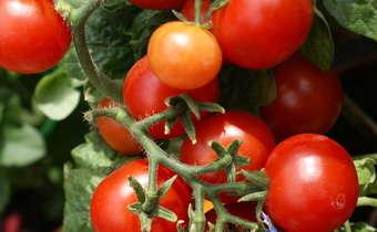 Dicas para implantação de lavoura de tomate