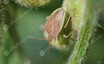 <em>Dichelops furcatus</em> em soja