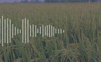 Distinção em arroz cultivado e arroz vermelho