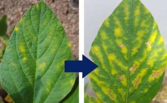 Distribuição e evolução dos sintomas de fitotoxidade nas plantas