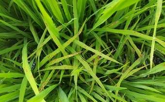 Doenças do arroz