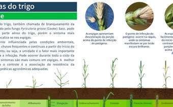 Doenças do trigo: brusone