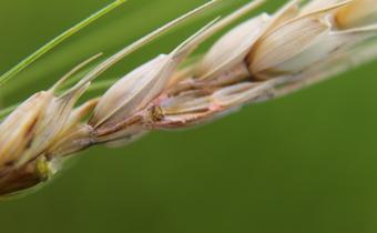 Doenças do trigo: giberela