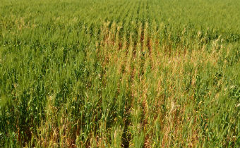 Doenças do trigo: mal-do-pé