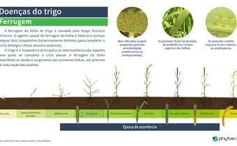 Doenças do trigo: ferrugem da folha