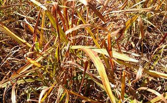 Efeito da aplicação de herbicidas no controle de capim-amargoso