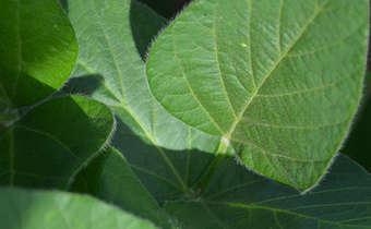 Efeito de diferentes condições de ambiente sobre o estabelecimento da soja