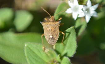 Efeito dos inseticidas espiromesifeno e azadiractina sobre percevejo-marrom na soja