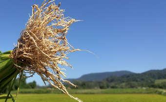 Engrossamento da raiz de arroz irrigadocausado por nematoide de galha