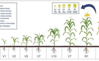 Escala Fenológica do milho