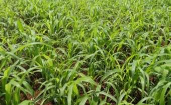 Estande de plantas de milheto
