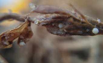 Fêmeas de Meloidogyne spp.