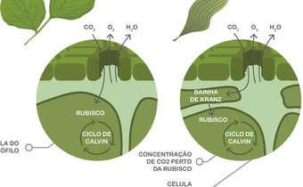 Fisiologia comparativa de plantas C3 e C4