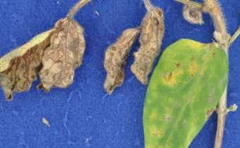 Fitotoxidade de herbicidas em soja