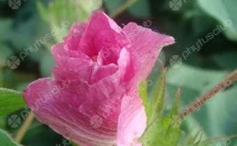 Flor de algodão após fecundação