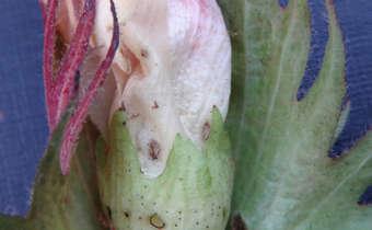 Flor de algodoeiro atacada por bicudo (<em>Anthonomus grandis</em>)